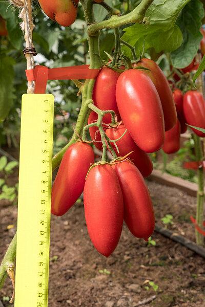хорошо томат дамский каприз отзывы фото как способов
